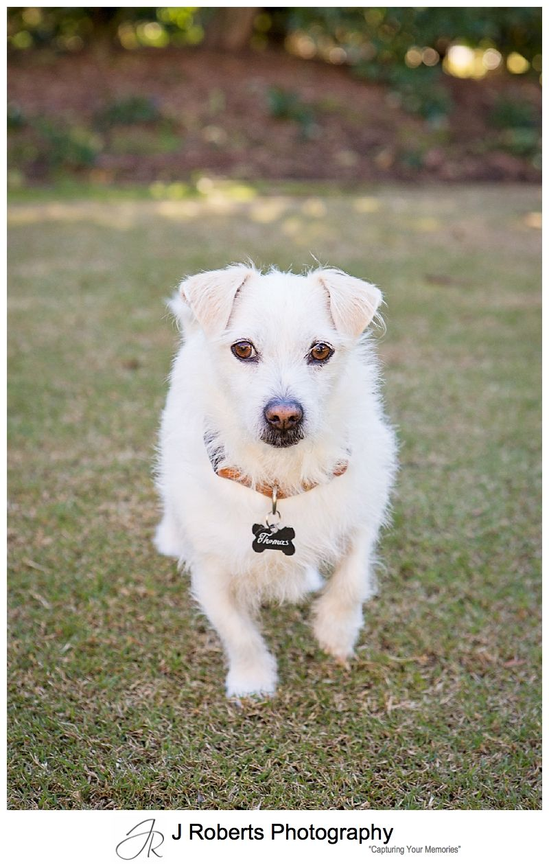 Dog Portrait Photography Sydney Gorgeous Rescue Dog Tom Tom at home Duffys Forest