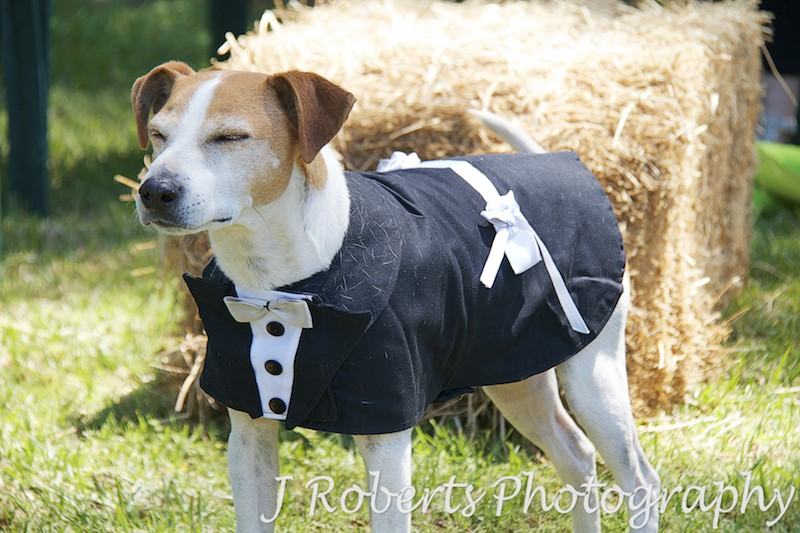 A dog in a waistcoat - Party Photography Sydney