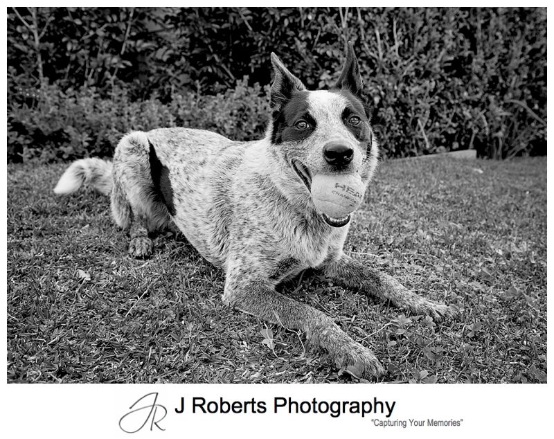 Pet Photography Sydney on location at family home Gorgeous Dog Bocca