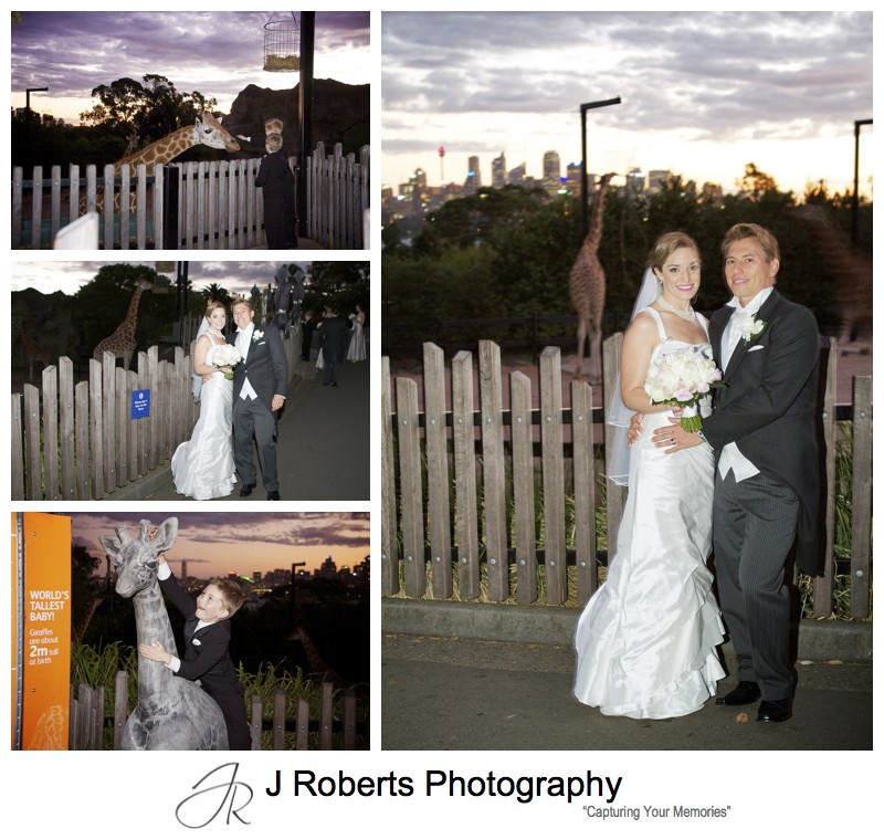 Photographs with the giraffes at Sunset at Taronga Zoo Sydney - wedding photography sydney